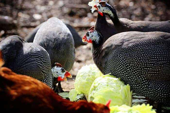 Guineas Eating Cabbage